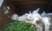 Mini lop rabbit's